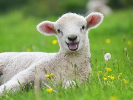 lamb-7